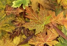Fundo colorido e brilhante feito das folhas de outono caídas Imagem de Stock