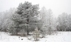 Fundo com árvores do inverno fotografia de stock royalty free