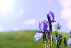Fundo com íris azul fotografia de stock royalty free