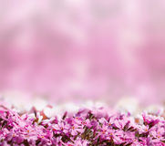 Fundo com as flores de florescência da cor-de-rosa Foto de Stock