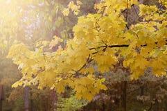 Fundo com as folhas de outono amarelas Imagens de Stock Royalty Free