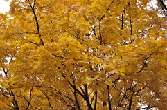 Fundo com as folhas de outono amarelas Foto de Stock Royalty Free