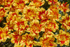 Fundo com as tulipas amarelas com linhas vermelhas nas pétalas, um pH Foto de Stock Royalty Free
