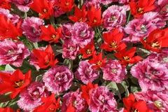 Fundo com as tulipas amarelas com linhas vermelhas nas pétalas, um pH Foto de Stock