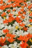 Fundo com as tulipas e os jacintos brancos e alaranjados, uma foto f Foto de Stock Royalty Free