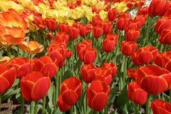 Fundo com as tulipas vermelhas, amarelas e alaranjadas, uma foto do Imagens de Stock