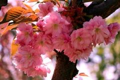 Fundo com flores em um dia de mola Cereja japonesa de florescência bonita - Sakura Fotos de Stock