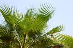 Fundo com folhas de palmeira verdes e o céu azul Imagem de Stock