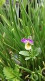 Fundo com grama e flor da viola imagem de stock royalty free