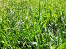 Fundo com grama verde fresca Fotos de Stock