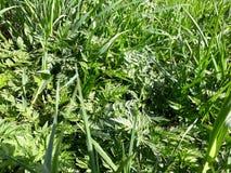 Fundo com grama verde fresca Imagem de Stock