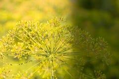 Fundo com o close up do guarda-chuva do aneto Planta de jardim Aneto perfumado no jardim no jardim imagem de stock