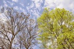 Fundo com os troncos de árvores da mola Imagens de Stock Royalty Free