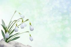 Fundo com snowdrops Imagens de Stock