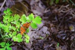 Fundo com uma borboleta vermelha bonita Fotografia de Stock Royalty Free