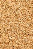 Grão do trigo imagem de stock royalty free