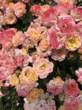 Fundo consideravelmente peachy das rosas Imagens de Stock Royalty Free