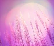 Fundo cor-de-rosa abstrato da grama da pena do softness da iluminação Imagens de Stock