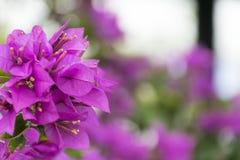 Fundo cor-de-rosa da flor com foco seletivo Bougainvillea& roxo x27; flora de s imagens de stock