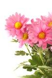 Fundo cor-de-rosa da margarida foto de stock royalty free