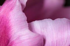 Fundo cor-de-rosa da pétala Imagens de Stock
