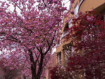 Fundo cor-de-rosa da rua da flor de cerejeira fotografia de stock