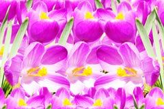 Fundo cor-de-rosa da textura da flor da mola do açafrão Foto de Stock