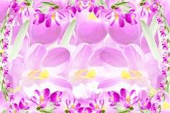 Fundo cor-de-rosa da textura da flor da mola do açafrão Imagens de Stock
