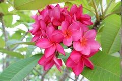 Fundo cor-de-rosa das folhas do Plumeria e do verde Imagens de Stock