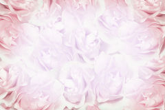 Fundo cor-de-rosa das rosas foto de stock royalty free