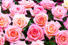 Fundo cor-de-rosa das rosas Foto de Stock