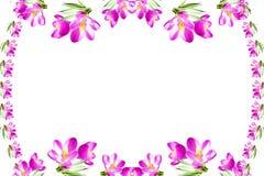 Fundo cor-de-rosa do branco da textura da flor da mola do açafrão Fotografia de Stock Royalty Free