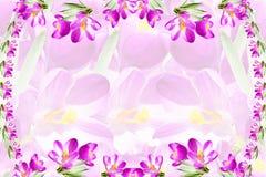 Fundo cor-de-rosa do branco da textura da flor da mola do açafrão Imagem de Stock Royalty Free