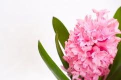 Fundo cor-de-rosa do hyacinth Imagens de Stock Royalty Free