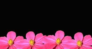 Fundo cor-de-rosa do preto de Cosmea Rosa Foto de Stock Royalty Free