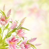 Fundo cor-de-rosa dos lírios Imagem de Stock