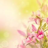 Fundo cor-de-rosa dos lírios Imagens de Stock