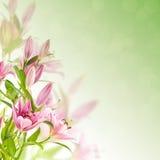 Fundo cor-de-rosa dos lírios Fotos de Stock