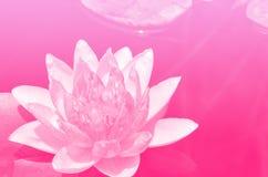 Fundo cor-de-rosa dos lótus do tom Fotografia de Stock Royalty Free