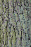 Fundo da árvore de casca do carvalho Foto de Stock
