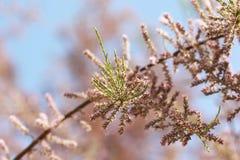 Fundo da árvore de florescência cor-de-rosa e do céu azul Imagem de Stock Royalty Free