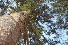Fundo da árvore de pinho Fotografia de Stock