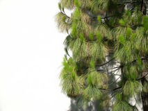 Fundo da árvore de pinho Fotos de Stock