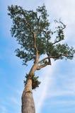 Fundo da árvore e do céu azul Imagem de Stock Royalty Free