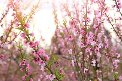 fundo da árvore da flor da mola com as flores bonitas cor-de-rosa Foco seletivo foto de stock