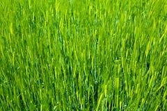 Fundo da agricultura - grão fresca verde Fotografia de Stock Royalty Free