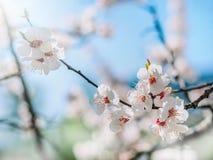 Fundo da aguarela Ramos de árvore de florescência com flores brancas, céu azul Árvore de florescência branca das flores afiadas e Imagens de Stock Royalty Free