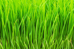 fundo da almofada de arroz Imagens de Stock