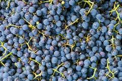 Fundo da alta qualidade da uva Imagens de Stock Royalty Free