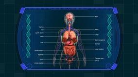 Fundo da animação dos gráficos do diagrama dos órgãos internos ilustração royalty free
